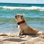 frenchie on beach doing yoga