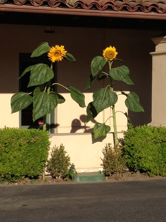 Friends Our Sun flowers